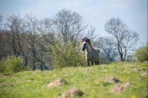 Wilde Landschaftspfleger: Die Koniks, wie die Wildpferde genannt werden, sind eines der Highlights im Naturschutzgebiet.