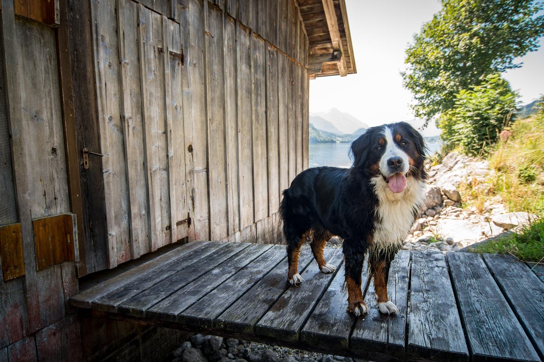 Hund am See: Jodie findet Baden ja eher bescheiden. Am Grundlsee musste sie trotzdem mit ins Wasser. Bei hochsommerlichen Temperaturen braucht auch sie mal Abkühlung.