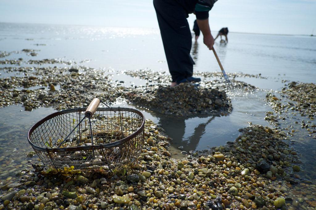 Muschelsucher wohin man blickt: Gibt das Meer die Passage de Gois frei, werden Miesmuscheln zum Ziel von Einheimischen und Touristen.