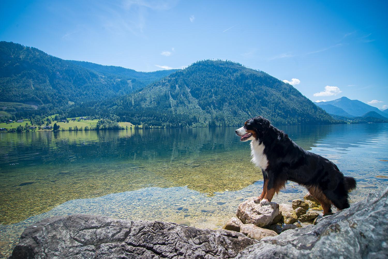 Jodie am Grundlsee: An den offiziellen Badestellen sind Hunde nicht erlaubt, abseits davon gibt es aber genug Plätze, an denen man gemeinsam ins Wasser springen kann.