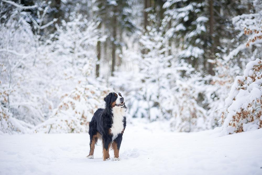Schnee liebte sie besonders - wenn es kalt wurde, blühte unsere Bernerdame noch einmal richtig auf.