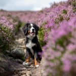 Im lila Heidemeer: Peak District Nationalpark