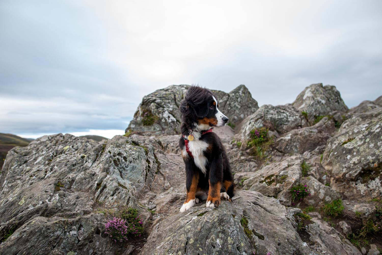 Hund als Gipfelstürmer: Ceeley auf dem Ben A'an.