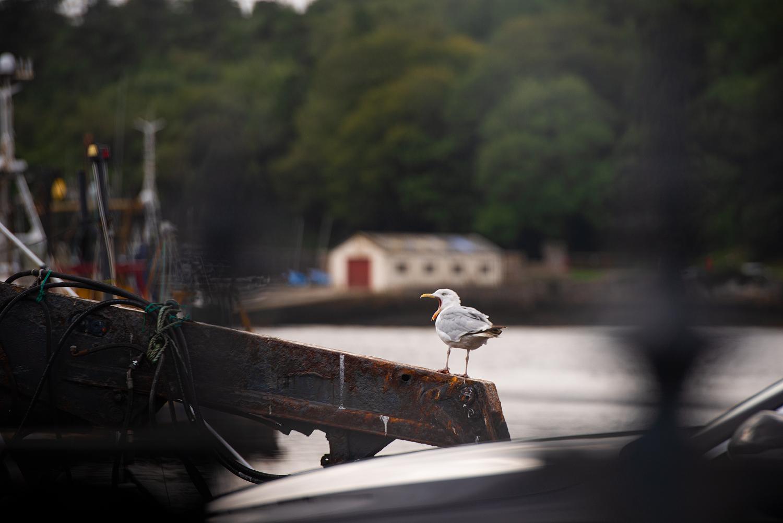 Stetiger Begleiter: Eine Möwe in Stornoway.